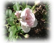 rosebutton